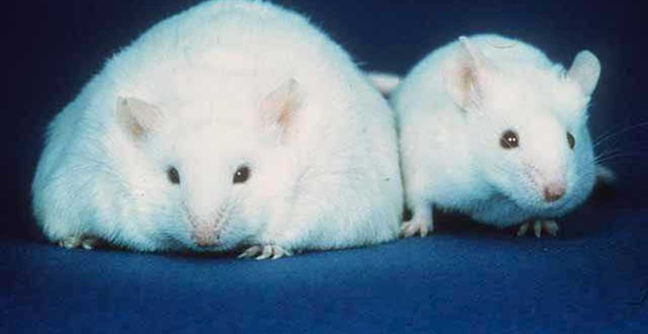obese mice